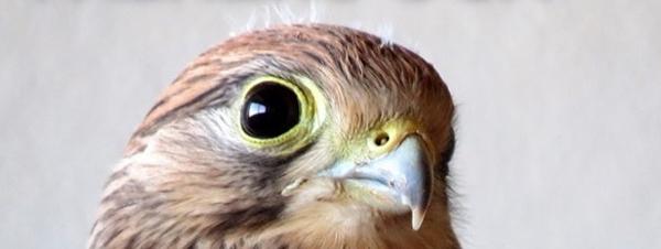 Falkens öga